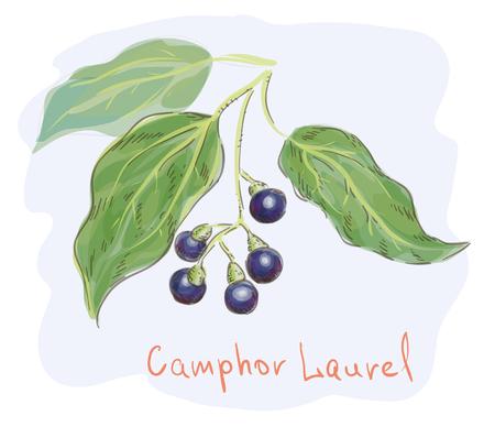 botanics: Camphor laurel. watercolor imitation. Vector illustration.