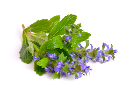 Ajuga also variously known as the upright bugle, blue bugle, Geneva bugleweed, blue bugleweed Stock Photo