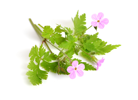 Geranium robertianum, Robertiella robertiana, commonly known as Herb-Robert, Red Robin, Death come quickly, Storksbill, Doves Foot, Crows Foot, or  Robert Geranium. Isolated. Stock Photo