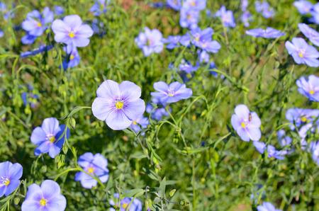 Flax flower on the meadow. Banco de Imagens