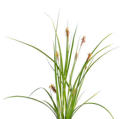 Carex humilis, also known as dwarf sedge. Isolated on white background.