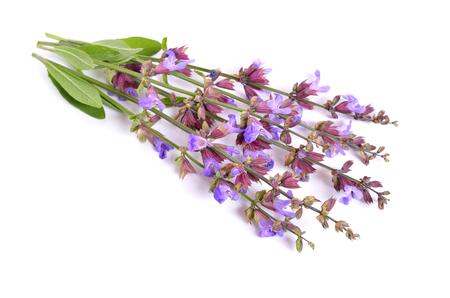 botanics: Salvia officinalis (sage, also called garden sage, or common sage) flower. Isolated.