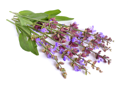 Salvia officinalis (sage, also called garden sage, or common sage) flower. Isolated. Stock Photo
