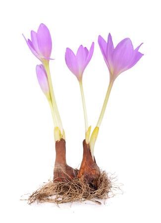 電球とコルチカム属の花。白い背景上に分離。 写真素材