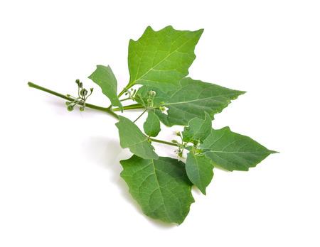 Solanum nigrum. European black nightshade or locally just black nightshade, duscle, garden nightshade, garden huckleberry, hounds berry, petty morel, wonder berry, small-fruited black nightshade, or popolo. Isolated.