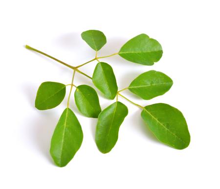 Moringa oleifera leawes. 흰색 배경에 고립. 스톡 콘텐츠