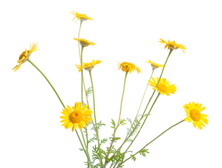 Cota tinctoria, the golden marguerite, yellow chamomile, or oxeye chamomile. Isolated.