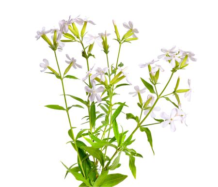 Saponaria, commonly known as soapwort. Isolated. Stock Photo