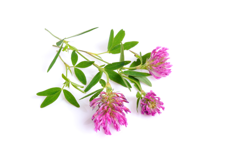 Clover or trefoil are common names for plants of the genus Trifolium. Isolated on white background. Stock Photo
