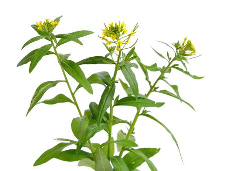 Erysimum (wallflower) isolated on white. 版權商用圖片