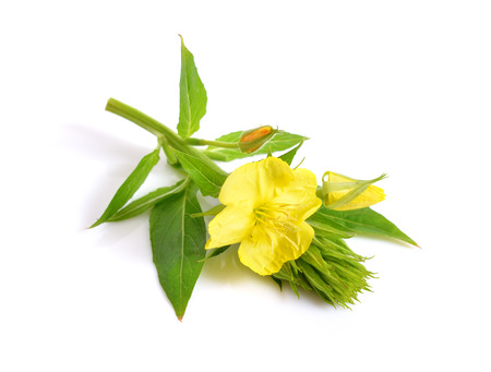 Oenothera. Common names include evening primrose, suncups, and sundrops. Isolated. Stockfoto
