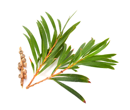 Melaleluca (tea tree) twigs with leaves and seeds. Isolated on white background.