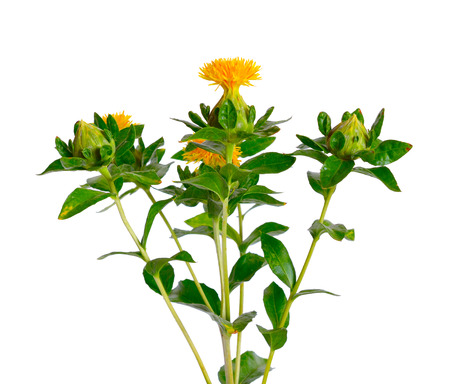 Safflowers flower. Isolated on white background.