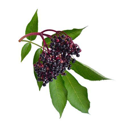 Sambucus nigra. Les noms communs incluent l'aîné, le sureau, l'aîné noir, l'aîné européen, le sureau européen et le sureau noir européen.