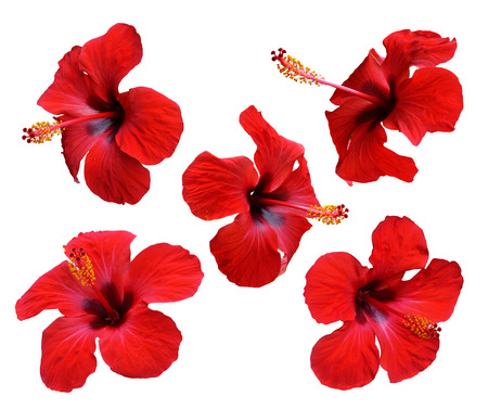 Red hibiscus flowers. Isolated set on white background.  Zdjęcie Seryjne