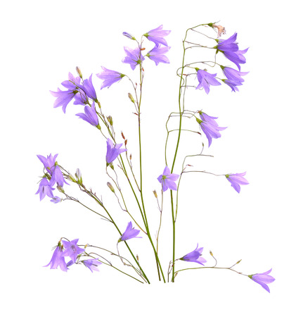 Campanula, bellflower, bell-shaped flowers or little bell. Isolated on white.
