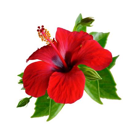 Red hibiscus flowers. Isolated set on white background.  Banco de Imagens