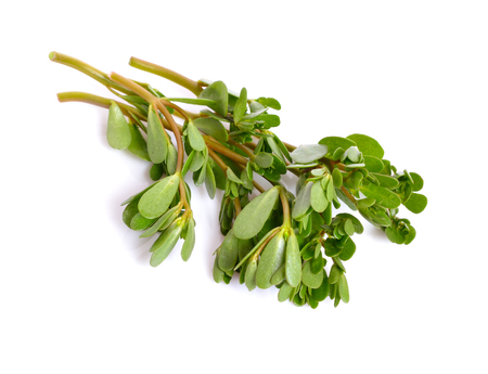Portulaca oleracea, common purslane, also known as verdolaga, little hogweed, red root, pursley.
