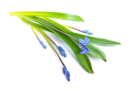 Blue Scilla flowers or Scilla siberica, Squill. Isolated on white.