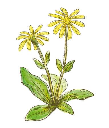 Arnica montana. Vector illustration. Watercolor imitation.