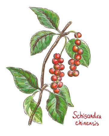 Schisandra chinese or five flavor berry. Vector illustration.