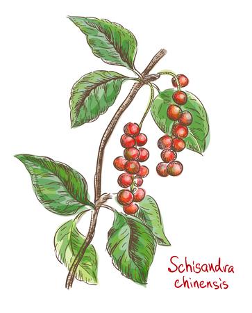 Schisandra chinese or five flavor berry. Vector illustration. Banco de Imagens - 103598444