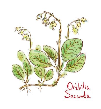 Orthilia Secunda or sidebells wintergreen, one-sided-wintergreen and serrated-wintergreen. Vector illustration.