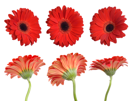 Red gerbera flowers. Isolated.