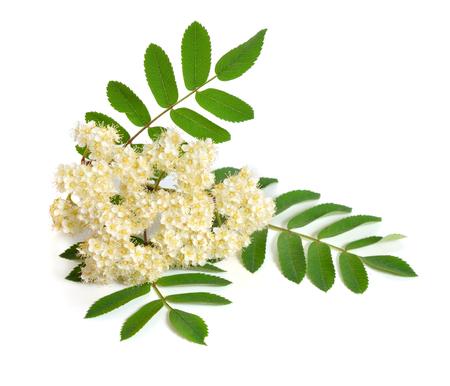 Flores de Sorbus aucuparia aisladas sobre fondo blanco. Foto de archivo