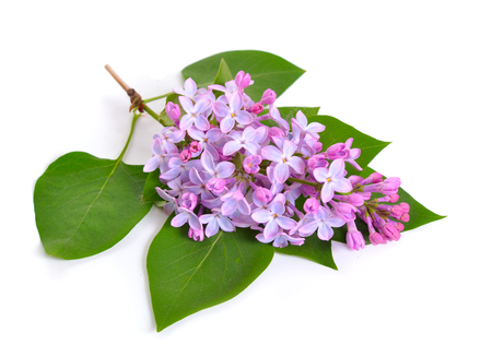 Syringa or lilac flowers. Isolated on white background