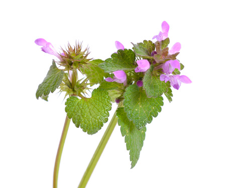 Lamium purpureum, known as red dead-nettle, purple dead-nettle, red henbit, purple archangel, or velikdenche. Isolated.