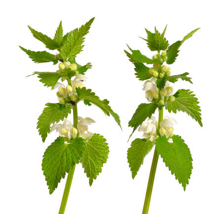 Lamium album, commonly called white nettle or white dead-nettle. Isolated.