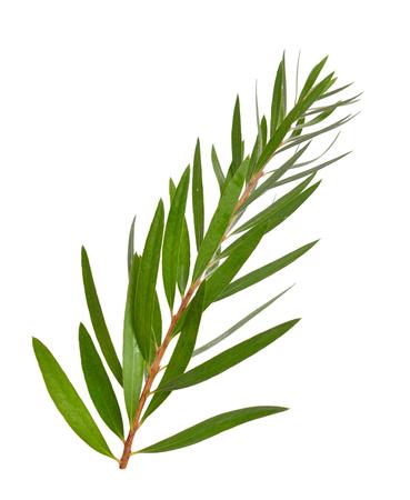 Melaleuca tea tree twig. Isolated on white background.