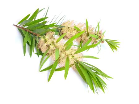 Ramoscello di melaleuca tea tree con fiori. Isolato su sfondo bianco.