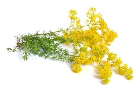 Galium verum, lady's bedstraw or yellow bedstraw. Isolated on white