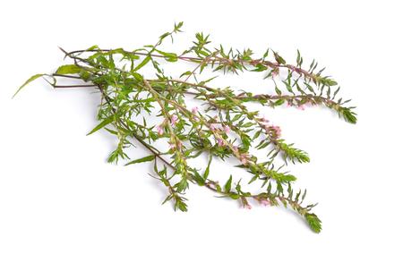 Red Bartsia or Odontites vulgaris isolated on white background Stock Photo
