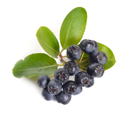 Aronia melanocarpa, called the black chokeberry. Isolated on white background 写真素材 - 107198847