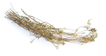 Pimpinella saxifraga, known as burnet-saxifrage, solidstem burnet saxifrage, lesser burnet. Dried medicinal plant