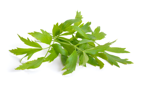 Lovage or Levisticum officinale. Isolated on white backgrounbd