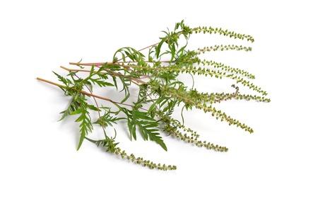 Ambrosia artemisiifolia, ragweed, annual ragweed or low ragweed. Isolated on white background Stock Photo