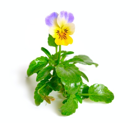 Viola tricolor, also known as Johnny Jump up, heartsease, heart 写真素材