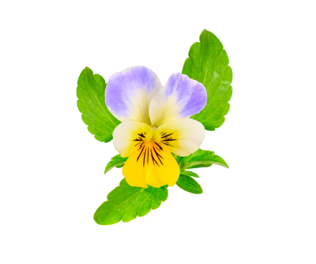 Viola tricolor, also known as Johnny Jump up, heartsease, heart Stock Photo