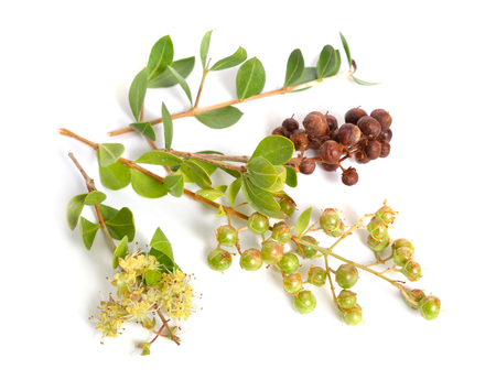 Lawsonia inermis, also known as hina or henna tree or mignonette tree and Egyptian privet. Isolated