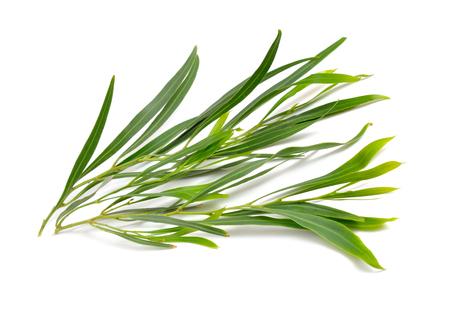 Acacia saligna, coojong, golden wreath wattle, orange wattle, blue-leafed wattle, Western Australian golden wattle or Port Jackson willow. Isolated. Stock fotó