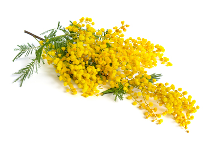 Acacia dealbata, known as silver wattle, blue wattle or mimosa isolated on white background.