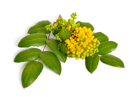 Flowering twig Mahonia isolated on white background