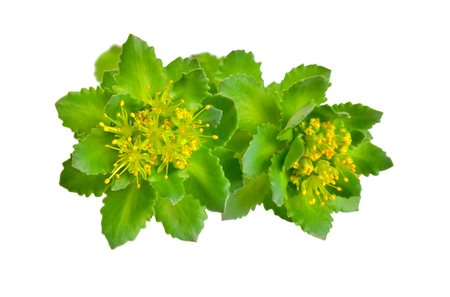 Rhodiola rosea or golden root, rose root, roseroot, Aarons rod, Arctic root, kings crown, lignum rhodium, orpin rose