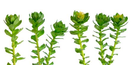 Rhodiola rosea or golden root, rose root, roseroot, Aarons rod, Arctic root, kings crown, lignum rhodium, orpin rose. isolated
