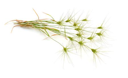 Aegilops or goatgrasses isolated on white background.