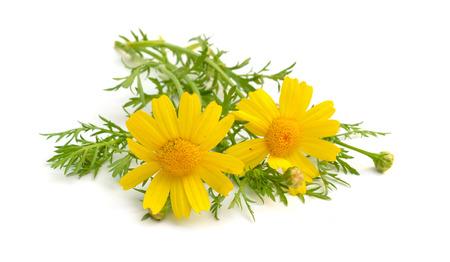 Cota tinctoria, the golden marguerite yellow chamomile, or oxeye chamomile. Isolated.
